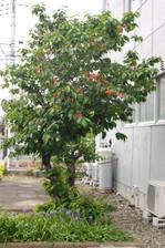 Sakuranbo01.JPG