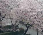 20170409sakura (350x286).jpg